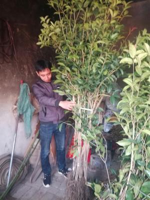 这是一张关于金桂花树苗的产品图片