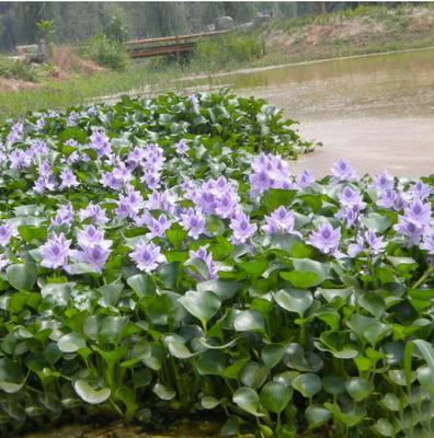 四川泸州水葫芦 600万棵现货供应