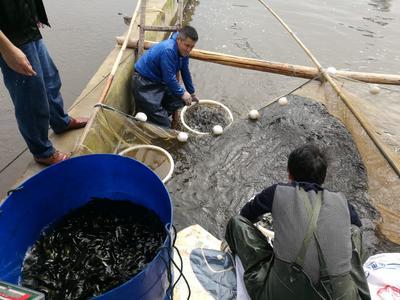 四川内江池塘黄颡鱼 人工殖养 0.05公斤