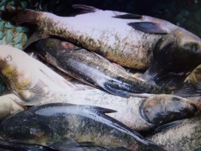 上海上海花鲢鱼苗 人工养殖 0.25-1公斤