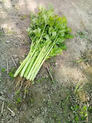 江苏省南通市通州区美国文图拉芹菜 55~60cm 0.5斤以下