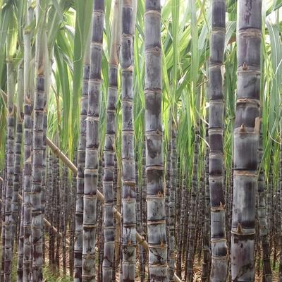 河南商丘黑皮甘蔗 1.5 - 2m 5 - 6cm