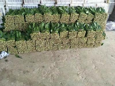 山东聊城大叶菠菜 25~30cm