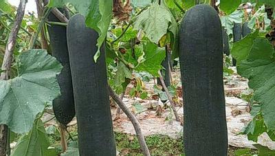 广西南宁吊冬瓜 25斤以上 黑皮