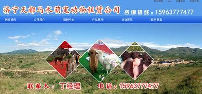 山东济宁秘鲁羊驼