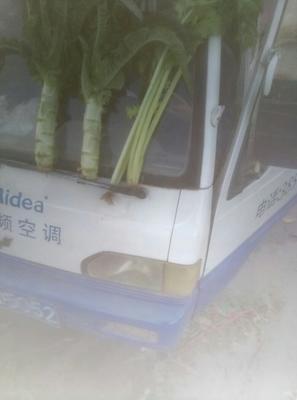 山东临沂红尖叶莴苣 50-60cm 1.0~1.5斤