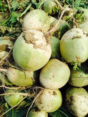 河北省保定市高碑店市心里美萝卜 1.5~2斤