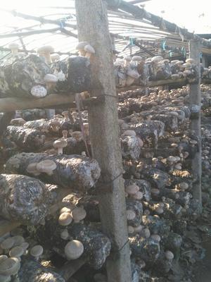 湖北随州普通香菇 散装 1年以上
