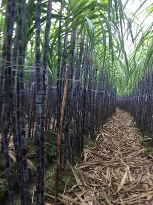 这是一张关于黑皮甘蔗 2.5 - 3m 5 - 6cm的产品图片