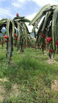 这是一张关于台湾红心火龙果苗的产品图片