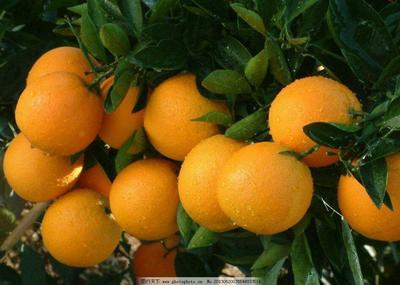 这是一张关于冰糖橙树苗 嫁接苗 0.5~1米的产品图片