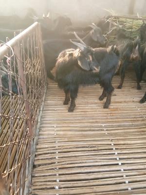 这是一张关于黑山羊 80-110斤的产品图片
