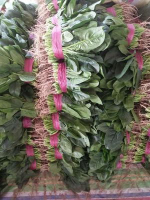 河南安阳越冬菠菜 20~25cm