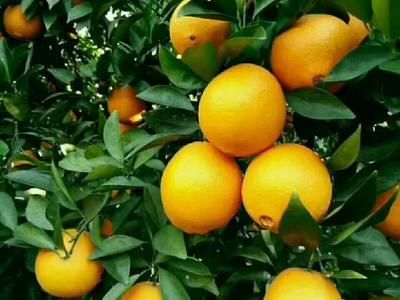 这是一张关于安远脐橙 65 - 70mm 4-8两的产品图片