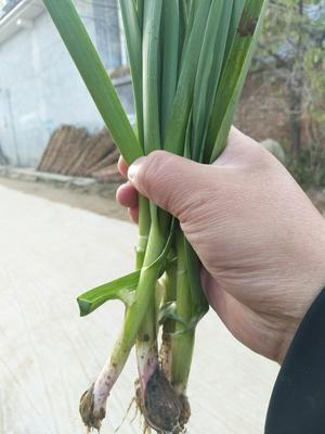 江苏徐州红根蒜苗 50 - 60cm