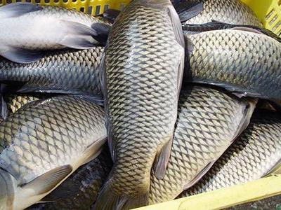 这是一张关于金草鱼 人工养殖 1.5-6龙8国际官网官方网站的产品图片