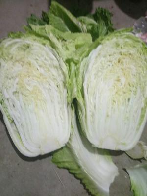 山东省潍坊市昌邑市87-114白菜 3~6斤 净菜