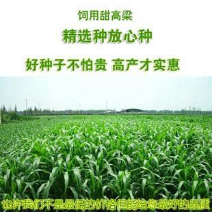 安徽亳州甜高粱 霉变 ≤1% 1等品