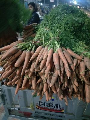 这是一张关于三红胡萝卜 15cm以上 2两以上 3~4cm的产品图片