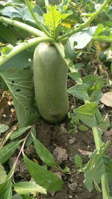 天津天津沙窝萝卜 1~1.5斤 沙窝萝卜