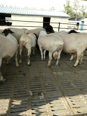 这是一张关于杜泊绵羊 80-110斤的产品图片