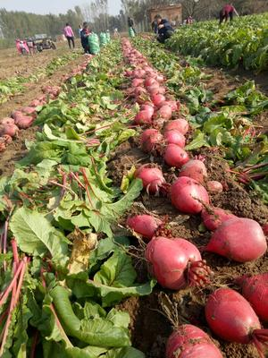 河北省邯郸市大名县满身红萝卜 1~1.5斤