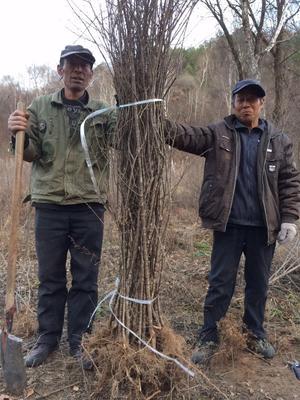陕西延安黄龙县暴马丁香 4cm以下 2~4cm 1~1.5米