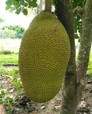 这是一张关于海南菠萝蜜 15斤以上的产品图片