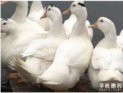 海南省澄迈县澄迈县鸭肉类