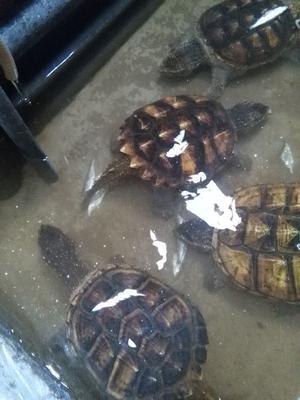 广西钦州鳄龟 20-30cm 10斤以上