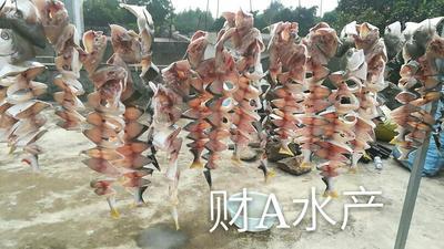 广东湛江金鲳鱼 人工养殖 1-1.5龙8国际官网官方网站