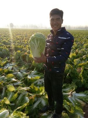 河南商丘青杂三号白菜 3~6斤 净菜