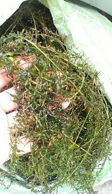 这是一张关于伊乐藻 吃不败的产品图片