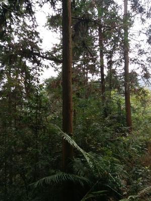 贵州黔东黎平县杉木树苗