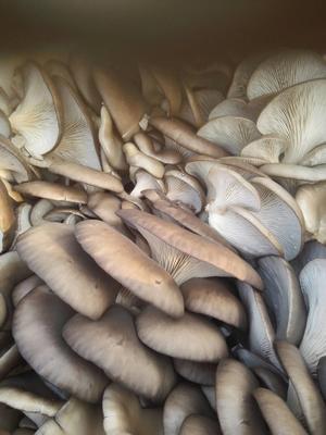 山东聊城蘑菇