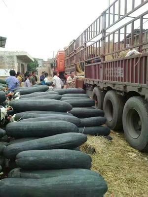 广西壮族自治区南宁市西乡塘区吊冬瓜 20斤以上 黑皮