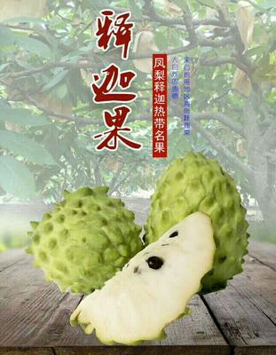 广西南宁凤梨释迦果 250-300g