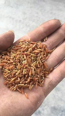 河南省郑州市中牟县长粒红米