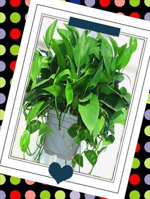 这是一张关于绿萝 盆栽的产品图片