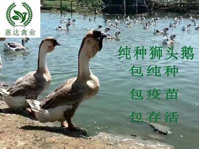 广西南宁狮头鹅苗 纯种