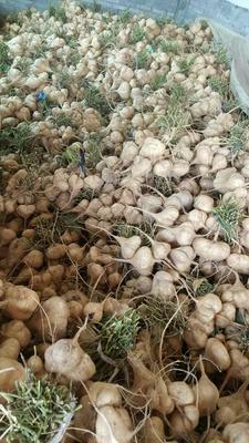 贵州省铜仁市石阡县马鞍山凉薯 1000~1500g