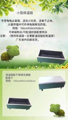 广东佛山南石龟 5-10cm 0.5斤以下