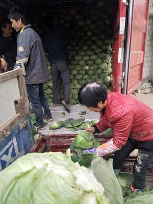 陕西省西安市临潼区莲花白包菜 1.5~2.0斤