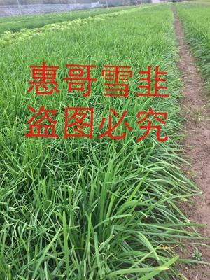 河北邢台威县韭菜种子