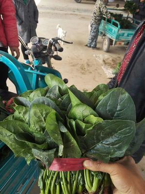 河南省安阳市滑县黑叶菠菜 20~25cm