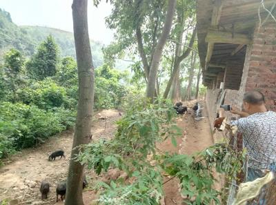 湖南郴州藏香猪 60斤以上