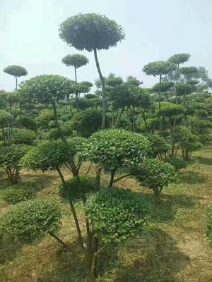 河南驻马店汝南县小叶女贞造型树