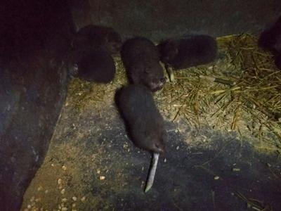 重庆重庆笨山羊 30-50斤 有野味竹狸,生态养殖,包杀包邮,营养丰富