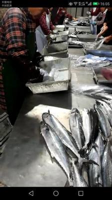 山东日照冻品海鱼
