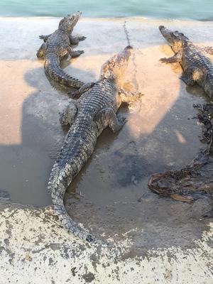 广东广州暹罗鳄